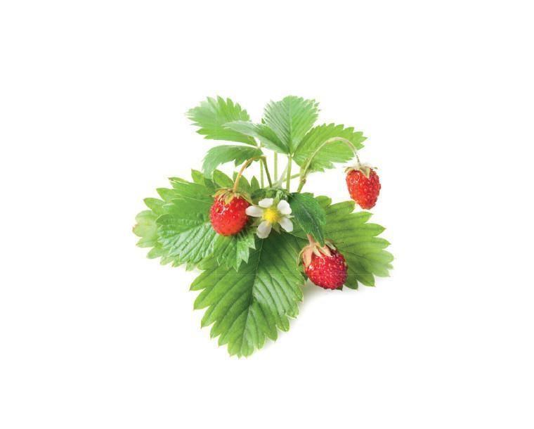SMART HOME STRAWBERRY REFILL/WILD STRAW-REFILL-3 CLICK&GROW